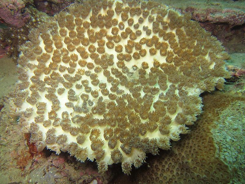 白化サンゴ復活